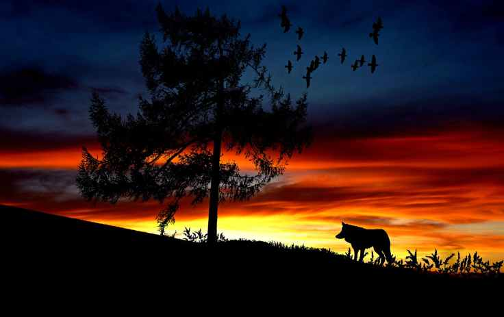 Sunset, a field in black silhouette of a lone wolf standing in tall weeds looking at a single tree while a flock of birds fly overhead.